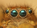 araigne-sauteuse-marpissa-radiata
